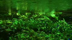 Fishes - Cardinal tetra Stock Footage