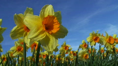 Daffodils against blue sky Stock Footage