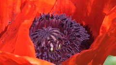 Oriental poppy (papaver orientale) one Stock Footage