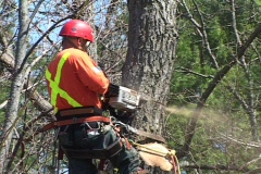 Man safely cutting tree with chainsaw 2. Stock Footage