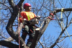 Man safely cutting tree with chainsaw 4. Stock Footage