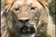 Lion closeup Serengeti - stock footage