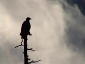 Stock Video Footage of Bald Eagle silhouette