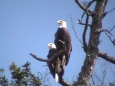 Stock Video Footage of Bald Eagles together
