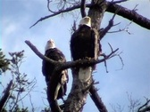 Stock Video Footage of Bald Eagles 2