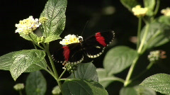 Postman butterfly (Heliconius melpomene) Stock Footage