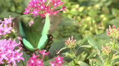 Emerald Swallowtail (Papilio Palinurus) Stock Footage