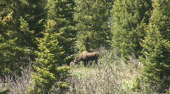 Moose grazing Stock Footage