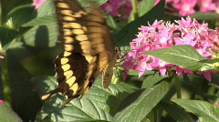 Yellow Swallowtail butterfly Stock Footage