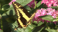 Stock Video Footage of Yellow Swallowtail butterfly
