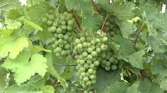 Vineyard in Summer Stock Footage