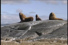 Sea lions Central BC Coast Stock Footage