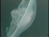 White Jellyfish 4 Stock Footage