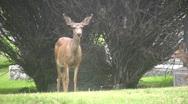 Deer Doe and Fawn nurse HD Stock Footage