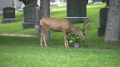 Deer eating flowers cemetery HD Stock Footage