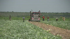 Watermellon harvest throw into truck Mexican labor HD Stock Footage