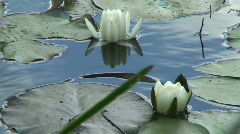 White water lily (Nymphaeaceae) 4 Stock Footage