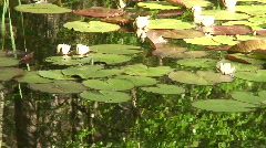 White water lily (Nymphaeaceae) 5 Stock Footage