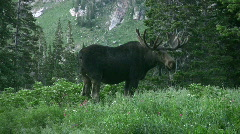 Moose bull in mountain meadow HD - stock footage