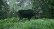 Moose bull in mountain meadow HD Stock Footage