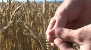 CornFields  Stock Footage
