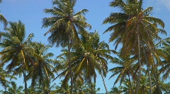 Jm196-DR-Palm Tree Tops Stock Footage