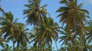 Stock Video Footage of jm196-DR-Palm Tree Tops