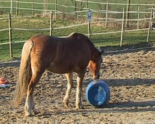 Haflinger horse Stock Footage