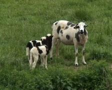 Mother goat with two young Stock Footage