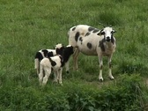 Stock Video Footage of Mother goat with two young