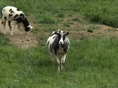 Adult mother goat Stock Footage
