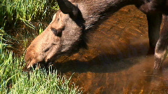 Moose drinking - zoom out Stock Footage