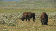 Two bison - stock footage