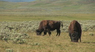 Stock Video Footage of Two bison