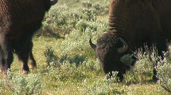 Group of bison - stock footage