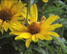 Spider on the yellow flower Stock Footage
