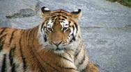 Siberian Tiger Yawning Stock Footage