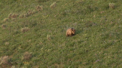 Mother grizzly with cubs - walking & digging - stock footage