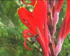 Bee on the red flower 02 Stock Footage