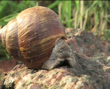 Snail crawling on the rock 01 - stock footage