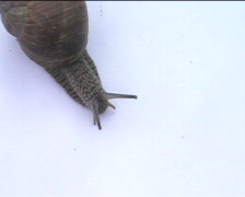 Snail crawling on the white 01 - stock footage