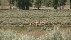 Pronghorn in Yellowstone  - stock footage