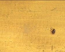 Colorado beetle flip-flop and walking 03 Stock Footage