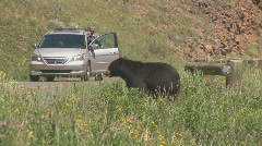 Black bear getting picture taken Stock Footage