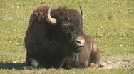 Stock Video Footage of Bison ruminating