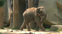 Baby Elephant Carrying Branch - stock footage