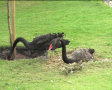 Two black swans preparing nest 01 - stock footage