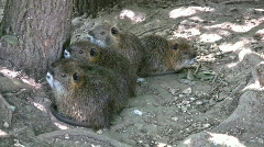 Nutria babies under tree closer HD Stock Footage