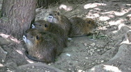 Stock Video Footage of Nutria babies under tree closer HD