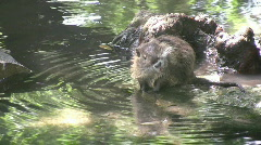 Nutria baby scratching HD Stock Footage
